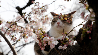 Ιαπωνία: Εντυπωσιάζουν και φέτος οι ανθισμένες κερασιές