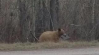 Τι κάνει αυτή η αρκούδα με ένα λαπτοπ στο στόμα;