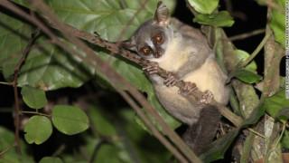 Ένα νέο είδος Γαλάγου βρέθηκε στην Ανγκόλα - και κινδυνεύει ήδη να εξαφανιστεί