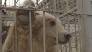 Σίμπα και Λούλα: Το λιοντάρι και η αρκούδα που γλίτωσαν από τον πόλεμο στη Συρία (vid)