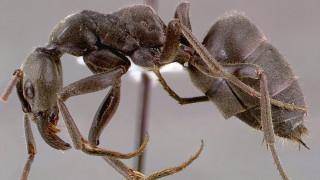 Τα μυρμήγκια-καταδρομείς δεν αφήνουν πίσω… τραυματίες