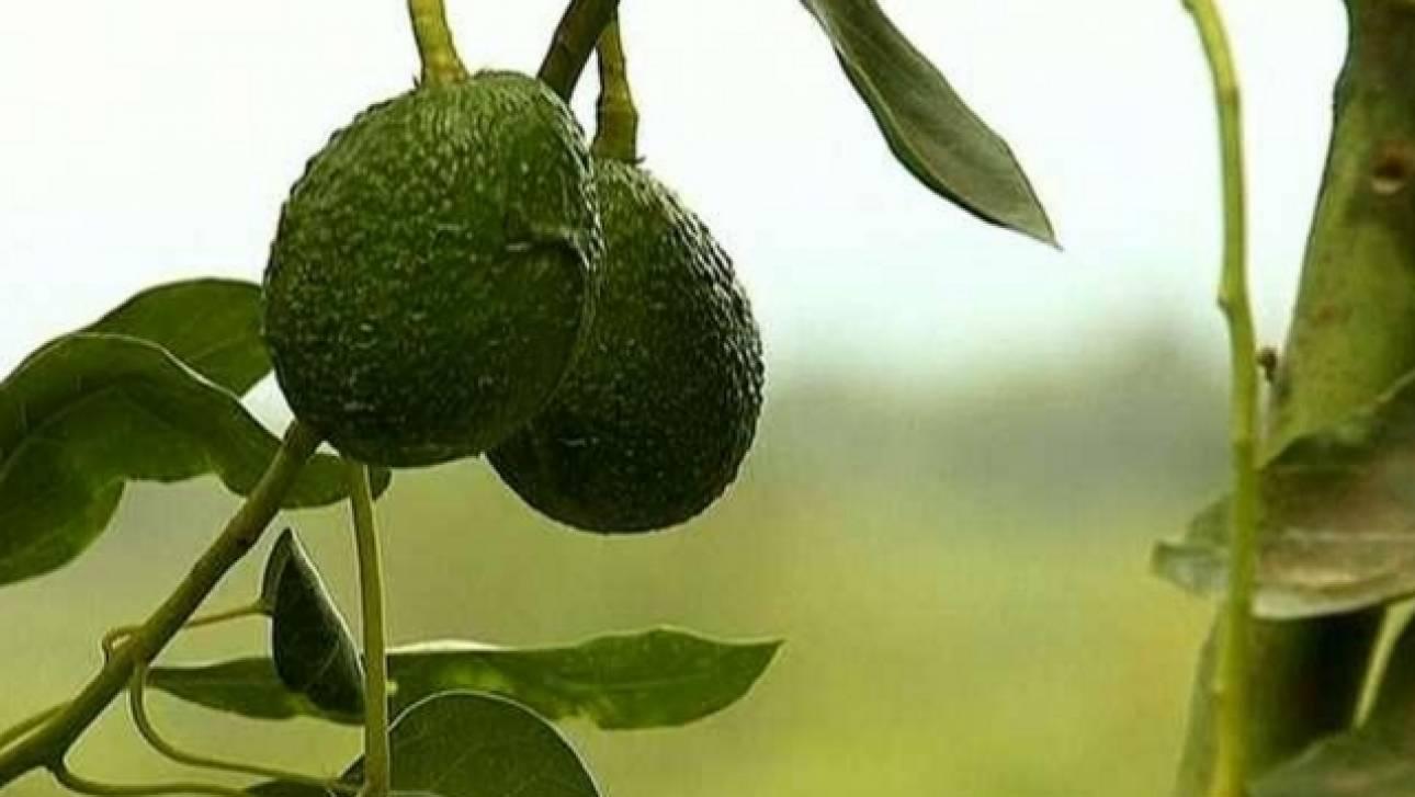 Ανάρπαστο το πρώτο Avocado bar