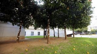 Θεσσαλονίκη: «Φιλί ζωής» της άνοιξης στις ημιθανείς νεραντζιές λόγω του παγετού