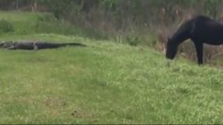 Άλογο επιτέθηκε σε... αλιγάτορα (vid)