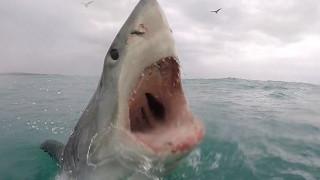 Κάμερα κατέγραψε τον τρόπο που επιτίθεται ένας λευκός καρχαρίας (vid)