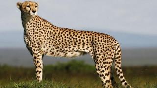 Τσιτάχ ορμάει σε τουρίστρια σε ζωολογικό πάρκο (vid)