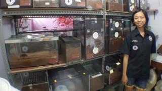 Η...ατρόμητη Ming Cu ζει σε ένα σπίτι με 1.500 ταραντούλες (Pic+Vid)