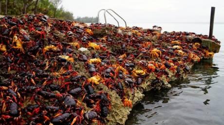 Κούβα: «Απόβαση» εκατομμυρίων καβουριών στον Κόλπο των Χοίρων (pics)