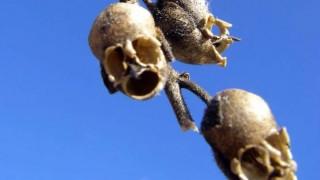Snapdragon: Τα λουλούδια που μετατρέπονται σε ανατριχιαστικά κρανία όταν μαραίνονται (pic+vid)