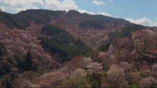 Χάρμα οφθαλμών: Οι ανθισμένες κερασιές στην Ιαπωνία από ψηλά (vid)