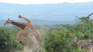 Μάχη ανάμεσα σε δύο αρσενικές καμηλοπαρδάλεις για τα μάτια ενός θηλυκού (vid)