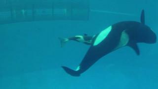 Η τελευταία φάλαινα-δολοφόνος που γεννιέται αιχμάλωτη