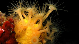 SOS για τα κοράλλια της Μεσογείου (pics & vid)