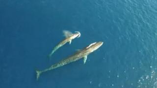 Drone κατέγραψε σπάνια φάλαινα στη Μεσόγειο (Vid)