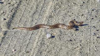 Καβάλα: Τον δάγκωσε φίδι, αλλά ήταν άτυχος επειδή ήταν… Σάββατο