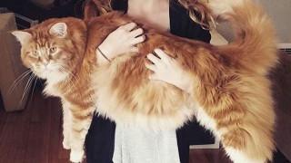 Oμάρ: Η μεγαλύτερη γάτα στον κόσμο τρώει καγκουρό