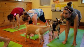 Γιόγκα με… κατσίκες, η νέα τάση στο Νιού Χαμσάιρ