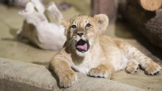 Πρώτη δημόσια εμφάνιση για νεογέννητο λιονταράκι στο Ντάλας