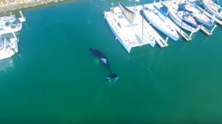 Συναγερμός για να σωθεί φάλαινα που παγιδεύτηκε σε λιμάνι της Καλιφόρνια (Vid)