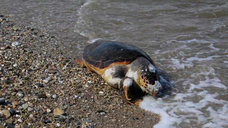 Ζάκυνθος: Εντοπίστηκε νεκρή χελώνα Καρέτα-Καρέτα