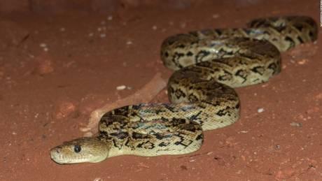 Ο βόας της Κούβας: Ένα μοναδικό φίδι