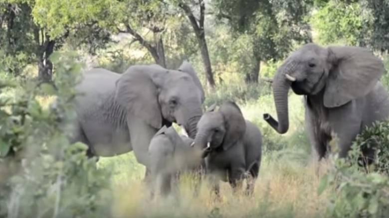 Ελέφαντες - Μέλισσες: σημειώσατε 2 (Vid)