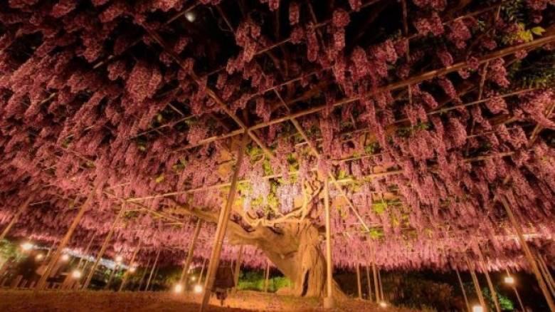 Είναι αυτή η βιστέρια το ομορφότερο δένδρο στον κόσμο; (Pics)