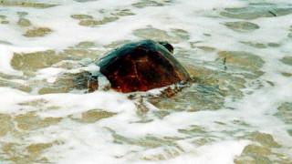 Η πρώτη φωλιά θαλάσσιων χελωνών για το 2017 στο Ρέθυμνο