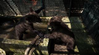 Δύο χαριτωμένα ορφανά αρκουδάκια «υιοθέτησε» ο Αρκτούρος (pics&vid)