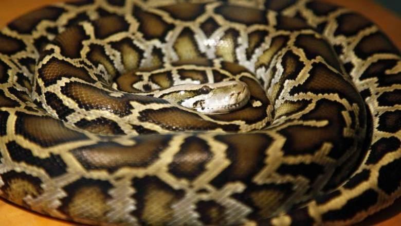 Γυναίκα «παγίδευσε» φίδι μέσα σε μία μαξιλαροθήκη (vid)