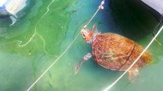 Οι χελώνες που έχουν «τρελάνει» τα Χανιά (pics)