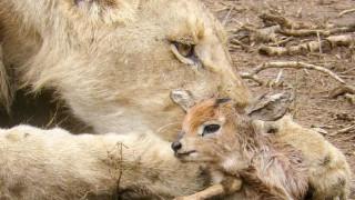 Λέαινα φροντίζει νεογέννητη αντιλόπη στο Εθνικό Πάρκο Kruger (Vid)