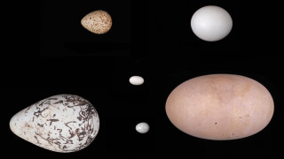 Γιατί τα αυγά των πτηνών είναι διαφορετικά μεταξύ τους;
