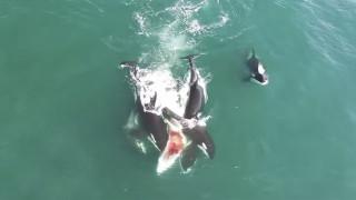 Σαρκοφάγες όρκες κατασπαράζουν φάλαινα (Vid)