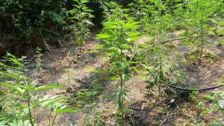 Καλαμάτα: Εντοπίστηκαν δύο φυτείες με 205 δενδρύλλια κάνναβης (pics)