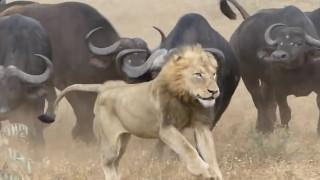 Απίστευτο βίντεο: Βούβαλοι σώζουν μέλος του κοπαδιού από λιοντάρια