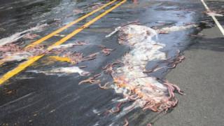 Όρεγκον: Ο δρόμος γέμισε 3.400 κιλά... χέλια (pics&vid)