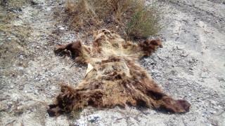 Καταγγελία από Αρκτούρο: Βρέθηκε κατεργασμένο δέρμα νεαρής αρκούδας (pics)