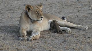 Σπάνιος δεσμός: Λέαινα θηλάζει μια μικρή λεοπάρδαλη και εκπλήσσει τους επιστήμονες (pics)
