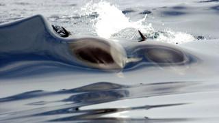 Δελφίνια εμφανίστηκαν στην παραλία της Ακράτας (vid)
