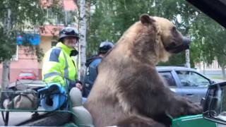 Ρωσία: Αρκούδος «κόβει» βόλτες με …μηχανή (vids)