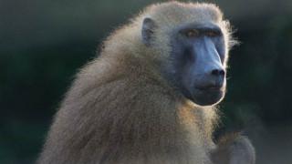 Ζάμπια: Ένας μπαμπουίνος ήταν η αιτία μεγάλου μπλακ άουτ σε τουριστική πόλη