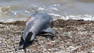Εντοπίστηκε νεκρό δελφίνι σε παραλία της Χαλκιδικής (pic&vid)