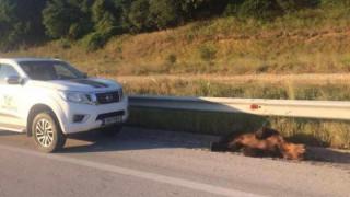 Νεκρό αρκουδάκι που χτυπήθηκε από όχημα στην εθνική οδό Αμυνταίου–Φλώρινας (pics)