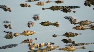 Ινδονησία: «Μαγεμένος» κροκόδειλος 'επιστρέφει' σορό στους συγγενείς (vid)