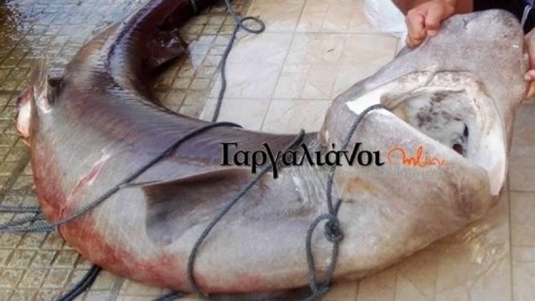 Έπιασαν καρχαρία 180 κιλών στο λιμάνι της Μαραθόπολης (pic)