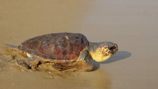 Τα πρώτα χελωνάκια Caretta caretta στη Ζάκυνθο για φέτος