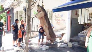 Αγρίνιο: Στα δίχτυα των ψαράδων ένας «Κόπανος» 300 κιλών (pics)