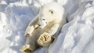 Φινλανδία: Το απρόσμενο δώρο στις πολικές αρκούδες ενός ζωολογικού (vid)