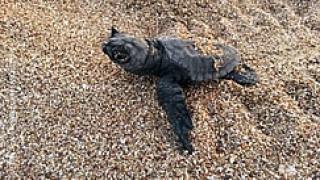 Tα πρώτα χελωνάκια της Πελοποννήσου ξεκίνησαν το ταξίδι τους (pics)